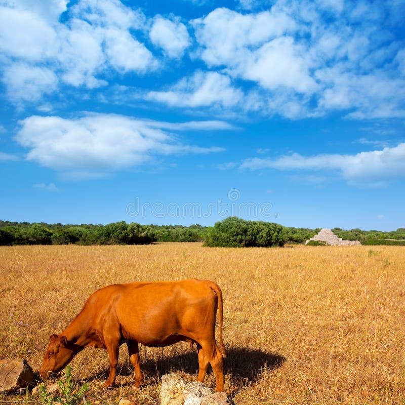 Menorca bruntko som betar i guld- fält nära Ciutadella arkivfoto