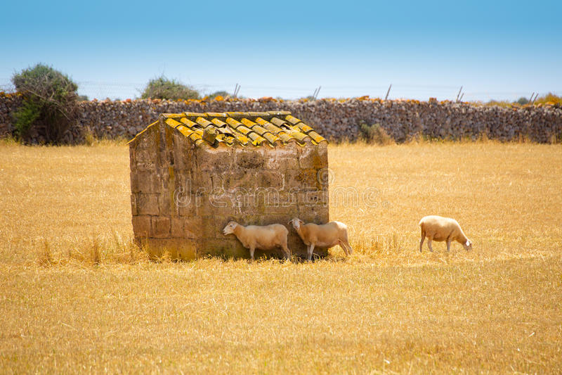 Menorca får flockas att beta i guld- torkad äng arkivfoto