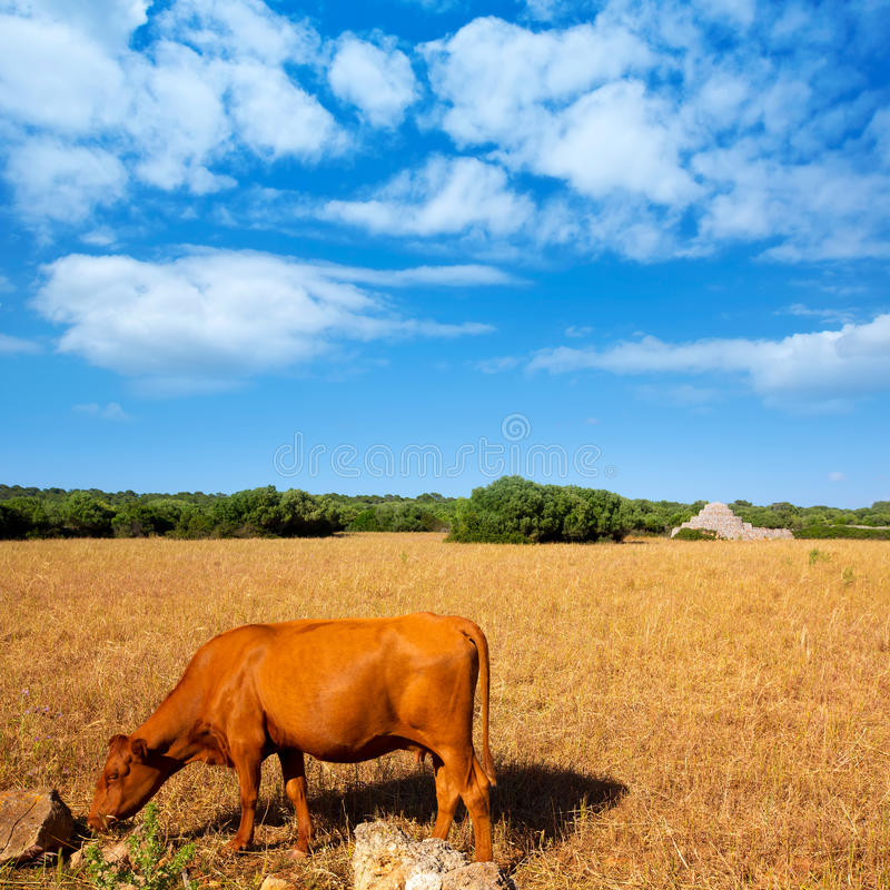Menorca het bruine koe weiden op gouden gebied dichtbij Ciutadella stock foto