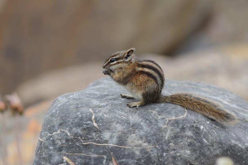 Menos ardilla listada que come una semilla - Jasper National Park, Canadá foto de archivo libre de regalías