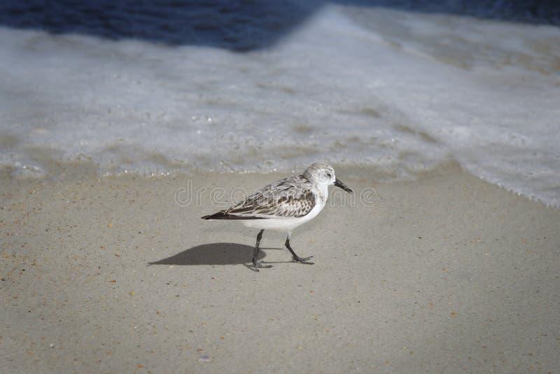 Menos borrelho que desfila na praia de Florida imagens de stock royalty free
