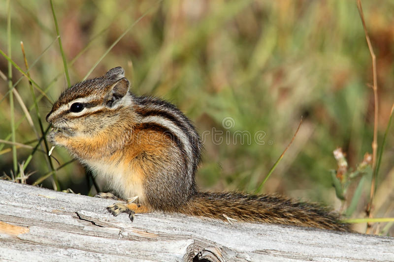 Menos Chipmunk (minimus do Tamias) fotografia de stock royalty free