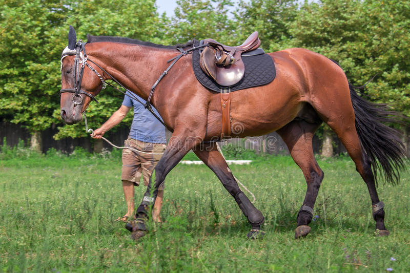 Mens die een Mooi paard opleiden, die bij het gebied galopperen stock afbeeldingen