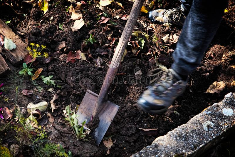 Mens die groenten op een tuin, zijn benen en een spade in nadruk rooien stock afbeeldingen