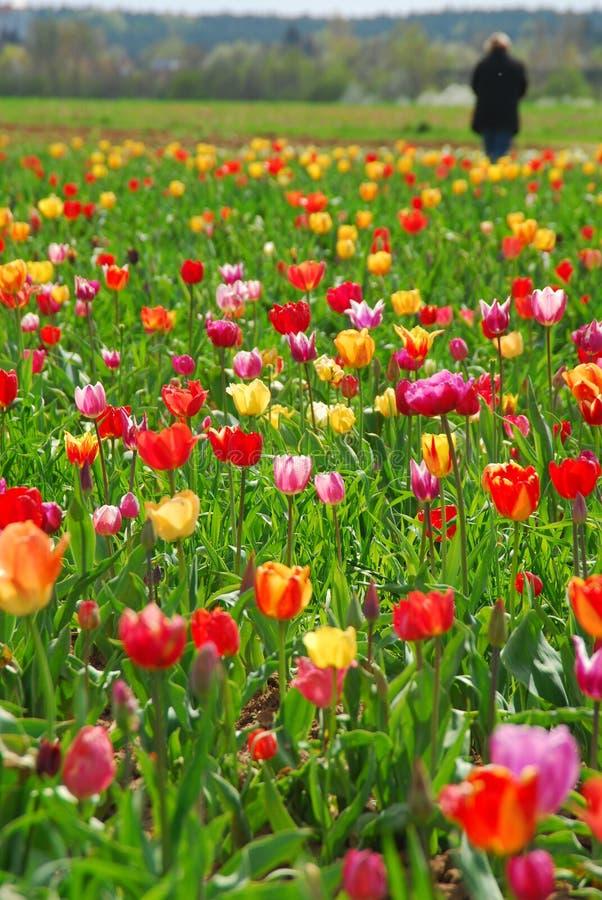 Mens die op de Gebieden van een Tulp loopt stock fotografie