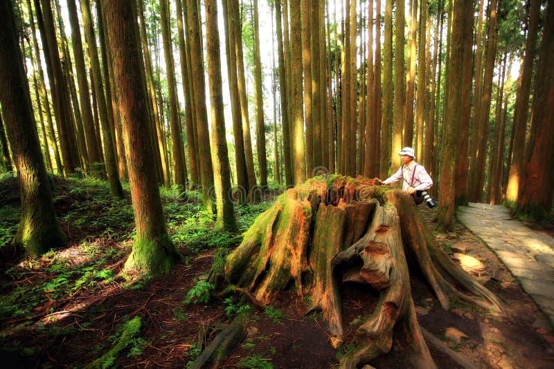 Mens in een bos van de Californische sequoia stock afbeelding