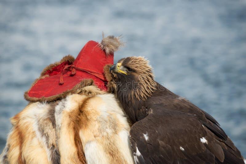 Mens en de Vogel Mongools die Hunter Berkutchi In Traditional Clothes, van Vosbont en een Rood GLB samen met Zijn Gouden Volwasse stock fotografie