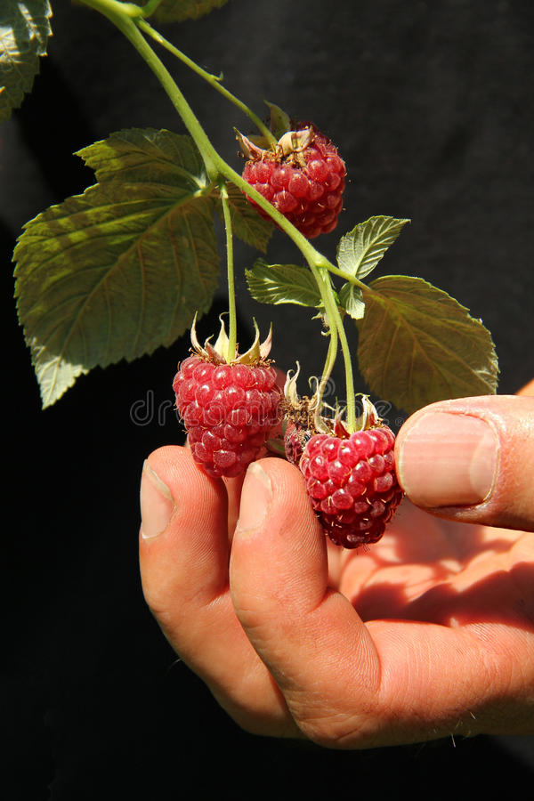 Mens hand picking ripe raspberries in the garden. Isolated against black background stock photo