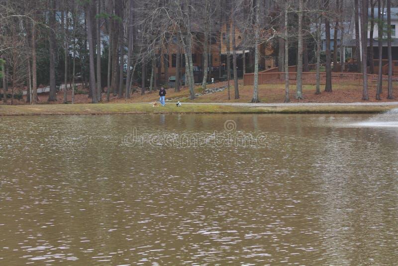 Mens het lopen honden door het meer stock afbeeldingen