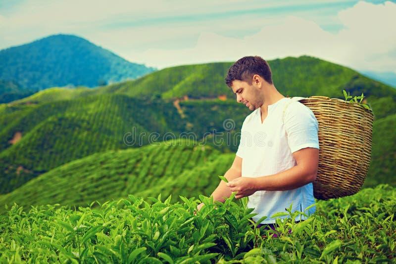 Mens het oogsten theebladen op aanplanting stock foto