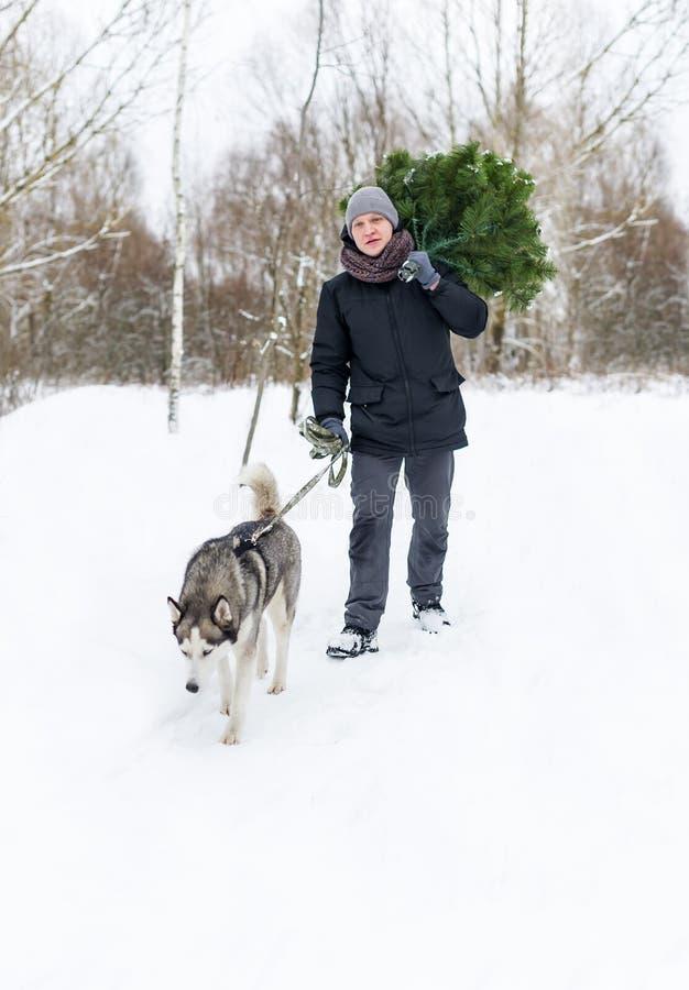 Mens met hond op een leiband die in sneeuwpijnboombos lopen in de winter met Kerstboom in handen stock foto's