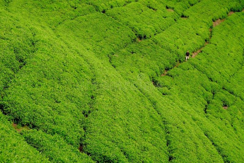 Mens/toerist die door het gebied van de theeaanplanting in Rwanda, Afrika lopen stock foto's