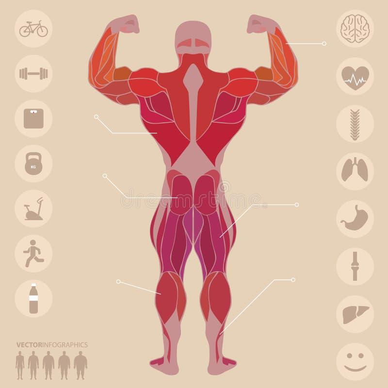 Mensch, Anatomie, Muskeln, Rückseite, Sport, Eignung, Medizinisch ...