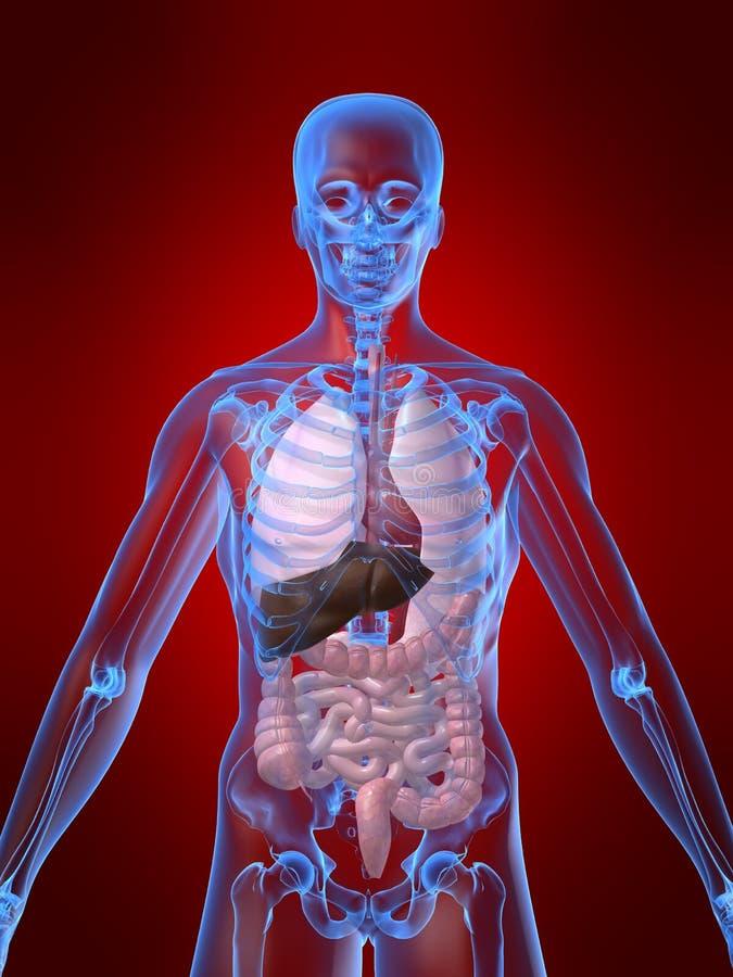 Menschliche Anatomie stock abbildung