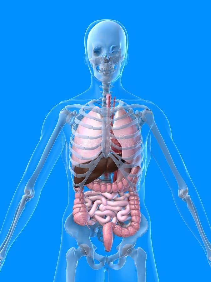 Menschliche Anatomie lizenzfreie abbildung
