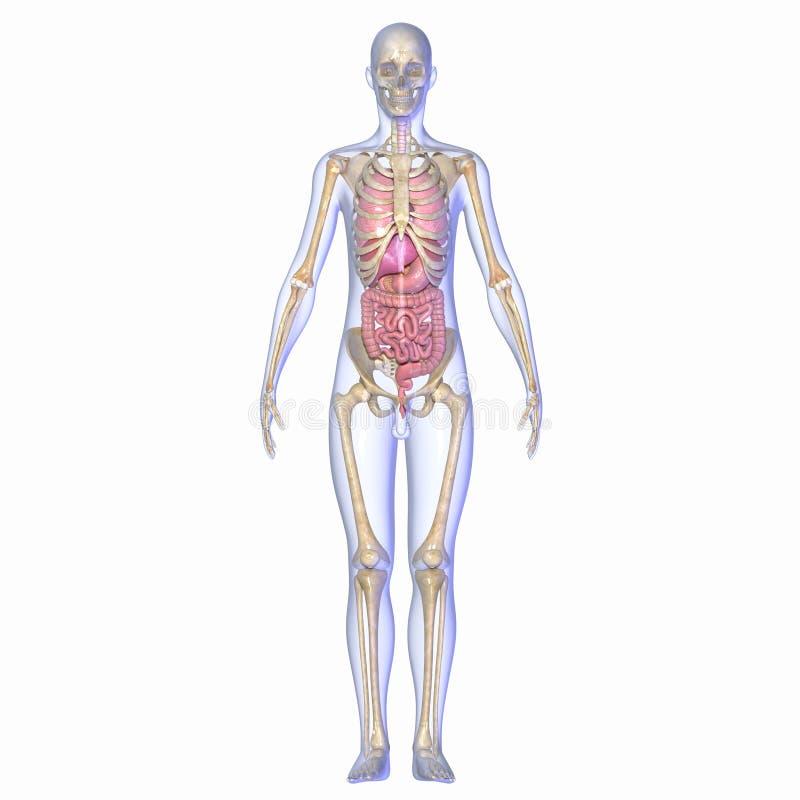 Menschliche Anatomie stock abbildung. Illustration von nieren - 40031882