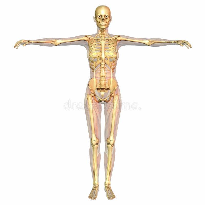 Menschliche Anatomie stock abbildung. Illustration von knochen ...