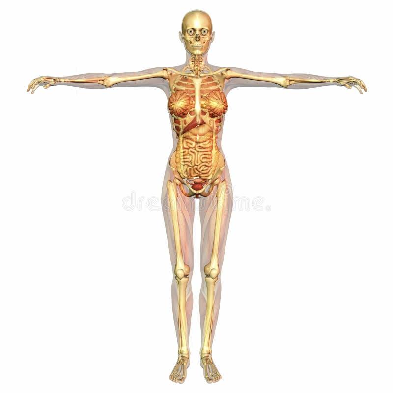 Menschliche Anatomie stock abbildung. Illustration von muskel - 43452524