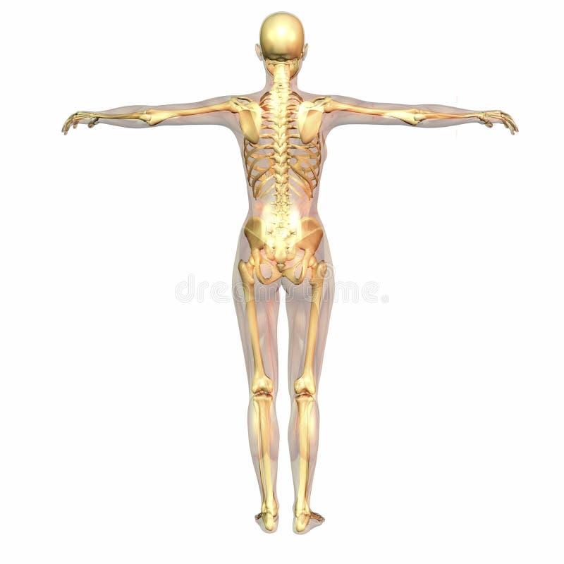 Menschliche Anatomie stock abbildung. Illustration von rückgrat ...