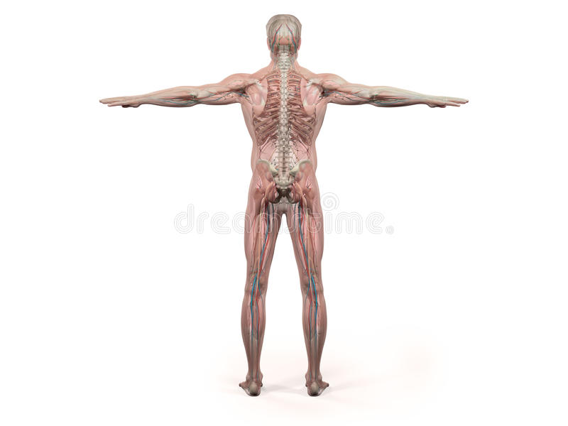 Menschliche Anatomie, Die Hinteren Vollen Körper, Kopf, Schultern ...