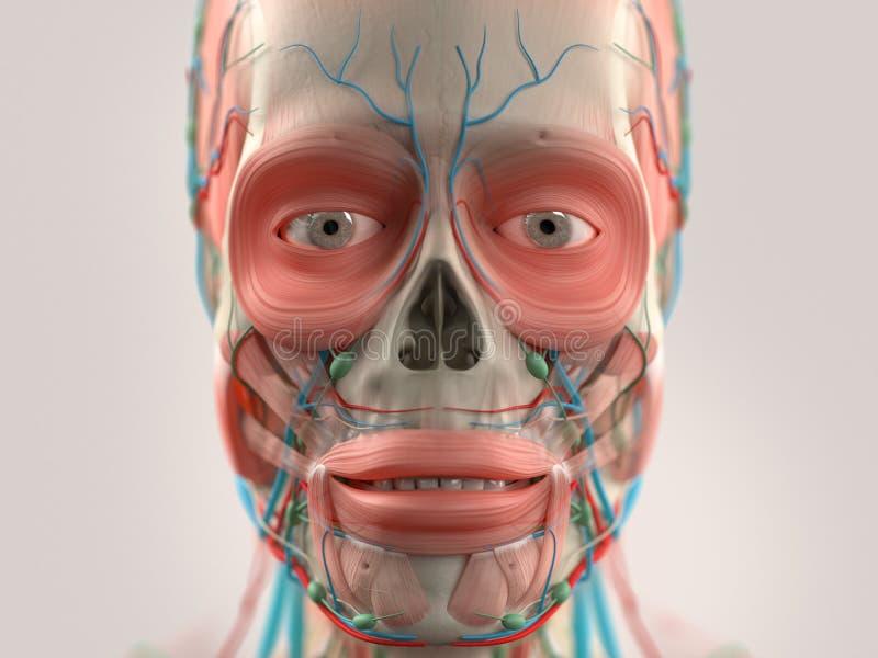 Menschliche Anatomie, Die Kopf, Nase, Gesicht Zeigt Stockbild - Bild ...