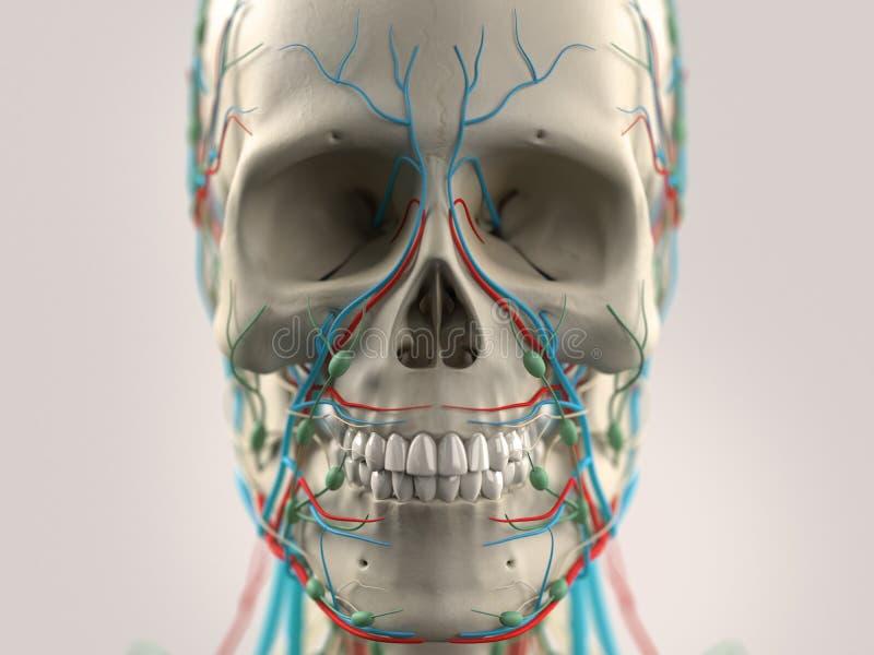 Menschliche Anatomie, Die Kopf, Nase, Gesicht Zeigt Auf Hellem ...