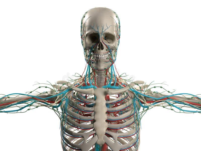 Menschliche Anatomie, Die Kopf, Schultern Und Torso, Knochenstruktur ...