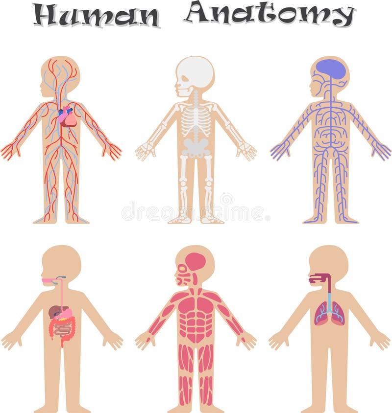 Menschliche Anatomie Für Kinder Vektor Abbildung - Illustration von ...
