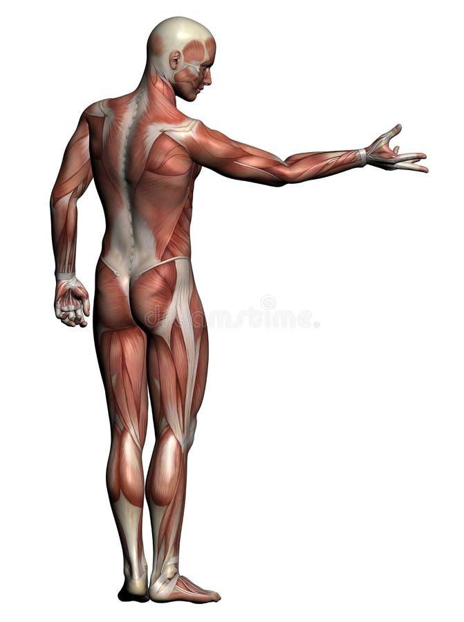 Menschliche Anatomie - männliche Muskeln lizenzfreie abbildung