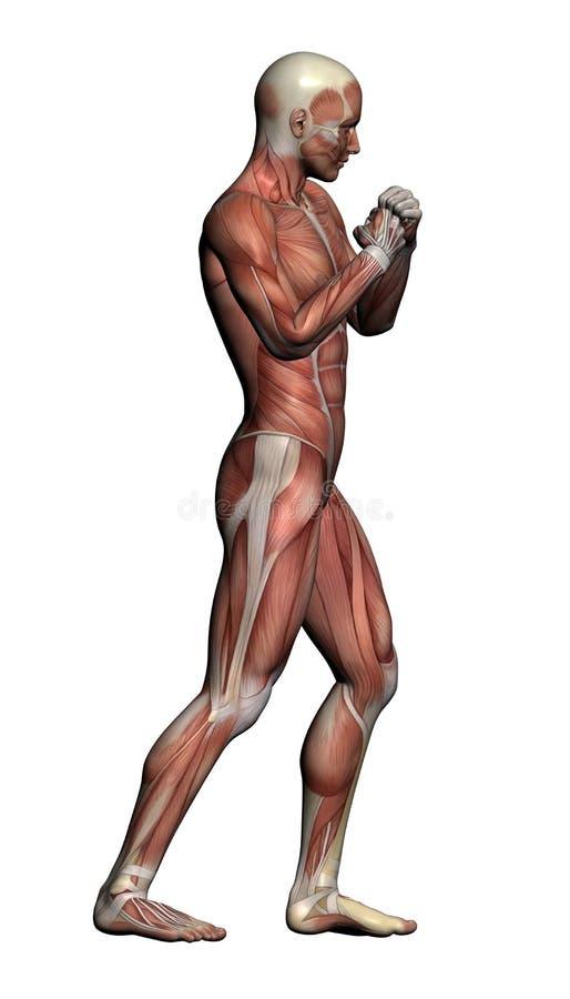Menschliche Anatomie - Männlicher Muskel Stock Abbildung ...