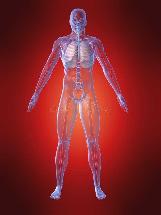 Menschliche Anatomie mit dem Lungenflügel lizenzfreie abbildung