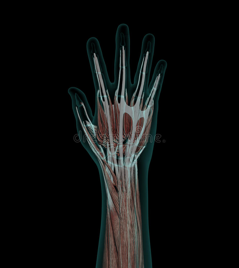 Großartig Vaskuläre Anatomie Der Hand Bilder - Anatomie Von ...