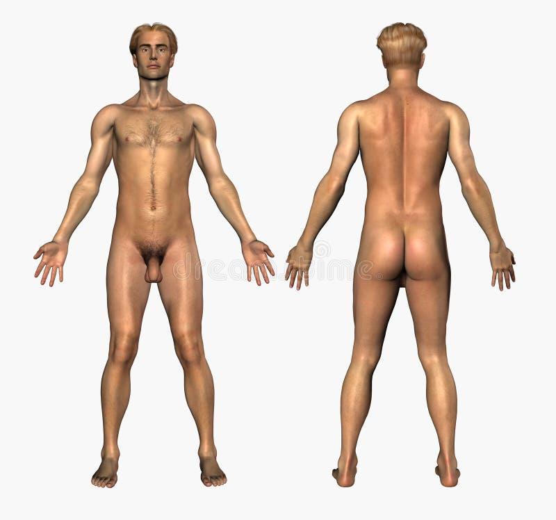 Menschliche Anatomie - Nackter Mann - Frontseite Und Rückseite Stock ...
