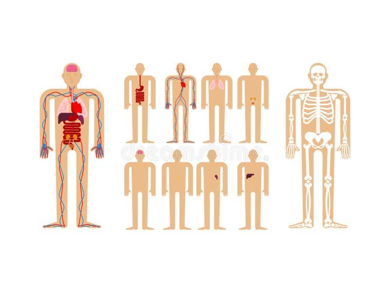 Menschliche Anatomie Skelett und innere Organe Systeme des Mannkörpers vektor abbildung