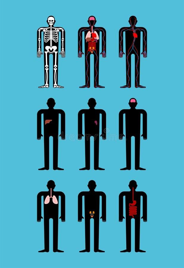 Menschliche Anatomie Skelett und innere Organe Systeme des Mannkörpers lizenzfreie abbildung