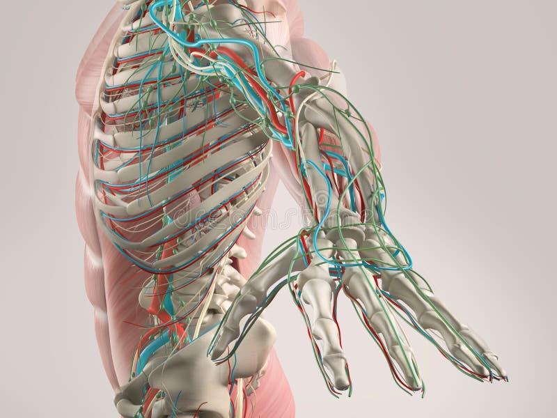 Menschliche Anatomieansicht des Torsos und des Armes stockbild