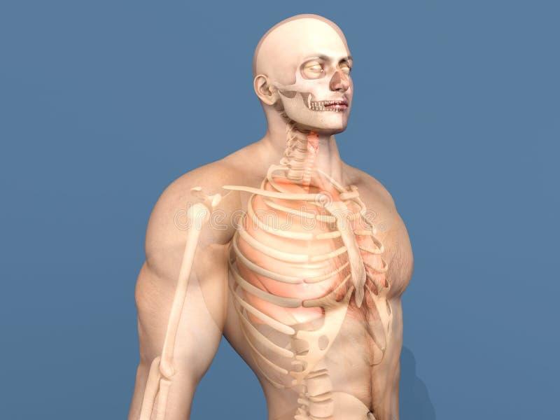 Menschliche Anatomiesichtbarmachung - innere Organe stockfotografie