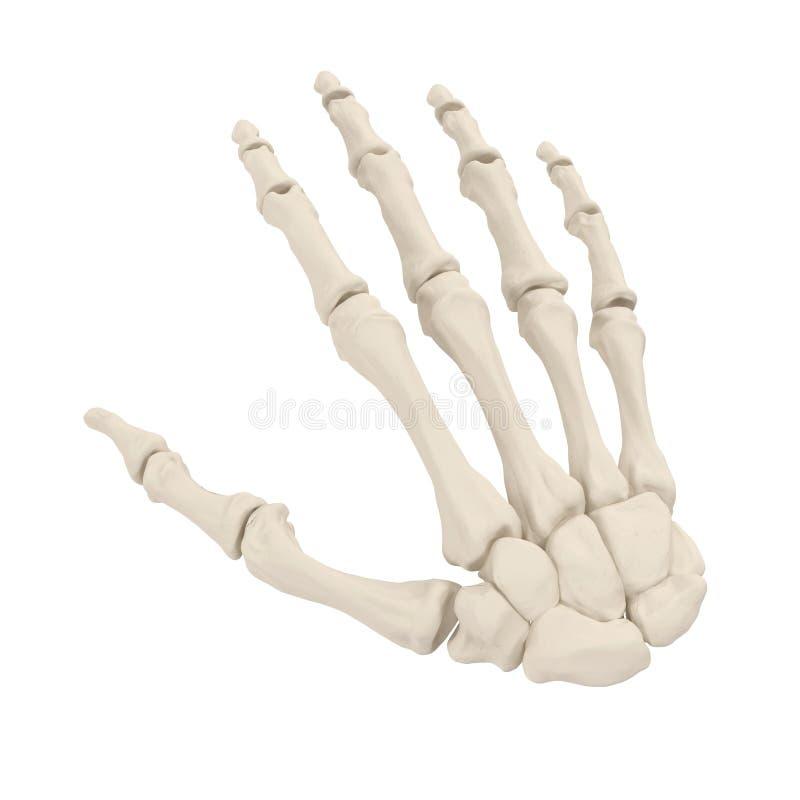 Menschliche Arm-Knochen Auf Weiß Abbildung 3D Stock Abbildung ...