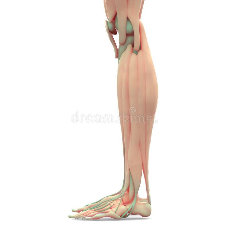 Menschliche Bein-Gelenke Mit Den Muskeln Stock Abbildung ...