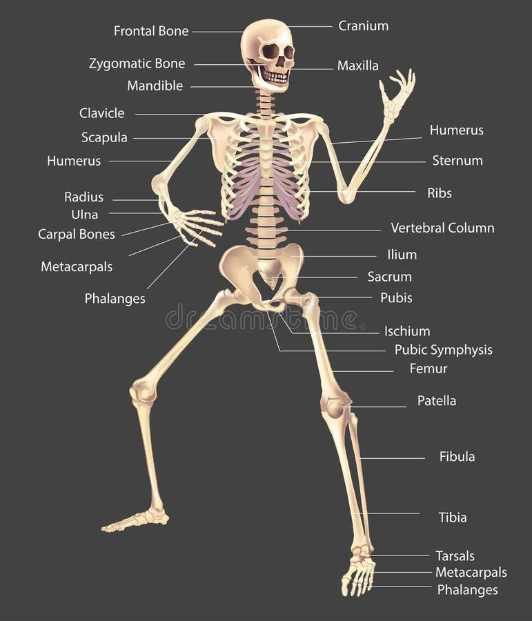 Menschliche genaue Illustration des Skeletts medizinisch stock abbildung