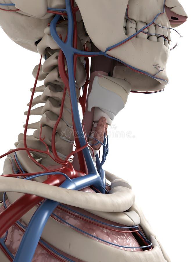 Menschliche Halsanatomie stock abbildung. Illustration von graphik ...