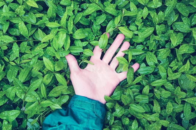Menschliche Hand liegt auf grünen Blättern mit Regentropfen, das Konzept der Einheit von Menschlichkeit mit Natur lizenzfreie stockfotos
