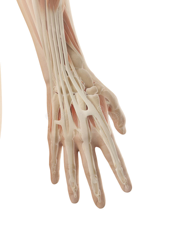 Menschliche Handanatomie stock abbildung. Illustration von muskeln ...
