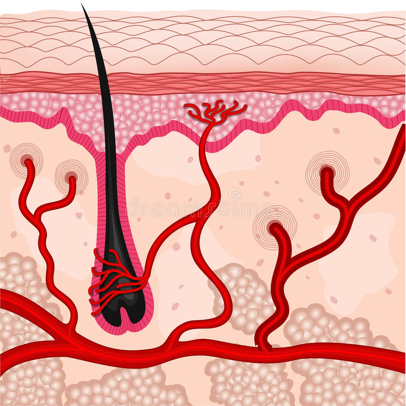 Menschliche Hautzellen stock abbildung