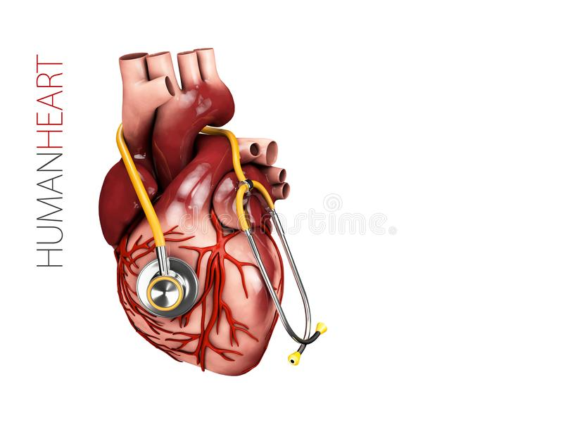Menschliche Herzanatomie mit Stethoskop Organsymbol Illustration 3d lokalisiert auf weißem Hintergrund lizenzfreie abbildung