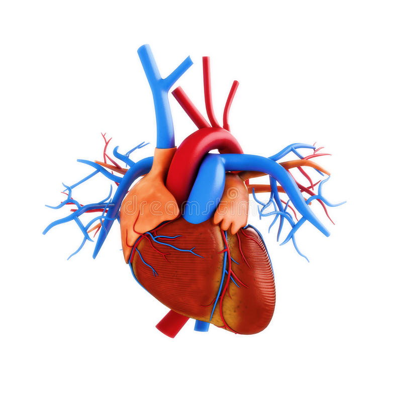 Menschliche Herzanatomieillustration lizenzfreie abbildung