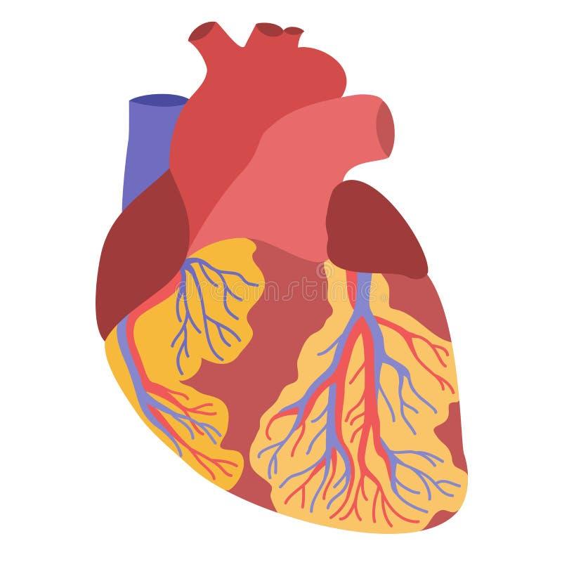 Menschliche Herzanatomieillustration vektor abbildung