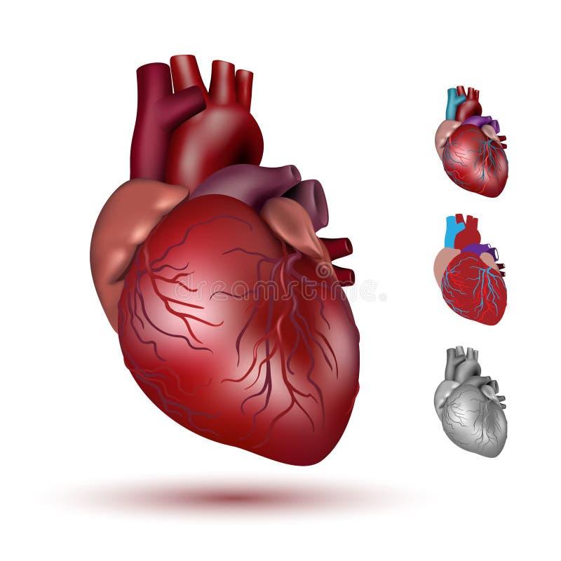 Menschliche Herzillustration lizenzfreie abbildung