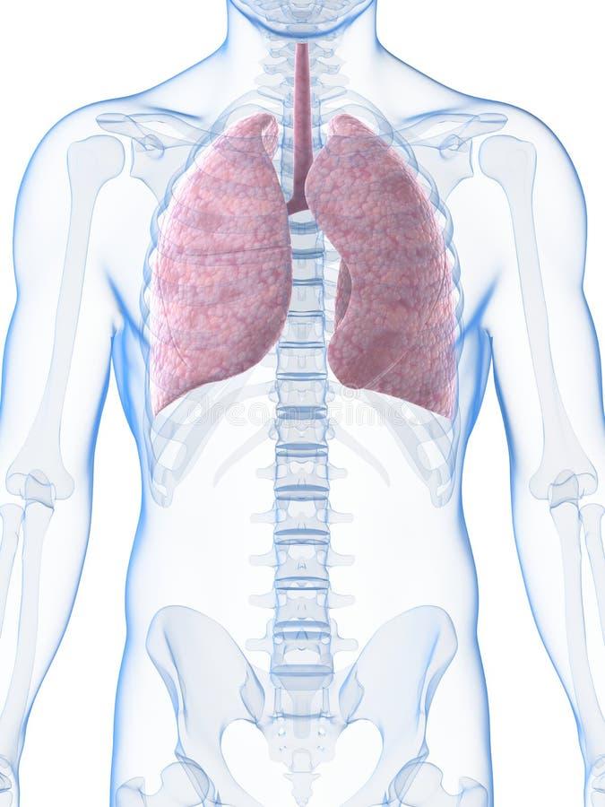 Ausgezeichnet Menschliche Anatomie Lunge Ideen - Menschliche ...