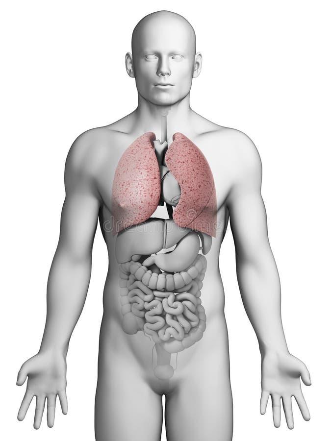 Menschliche Lunge stock abbildung. Illustration von inhale - 30723385